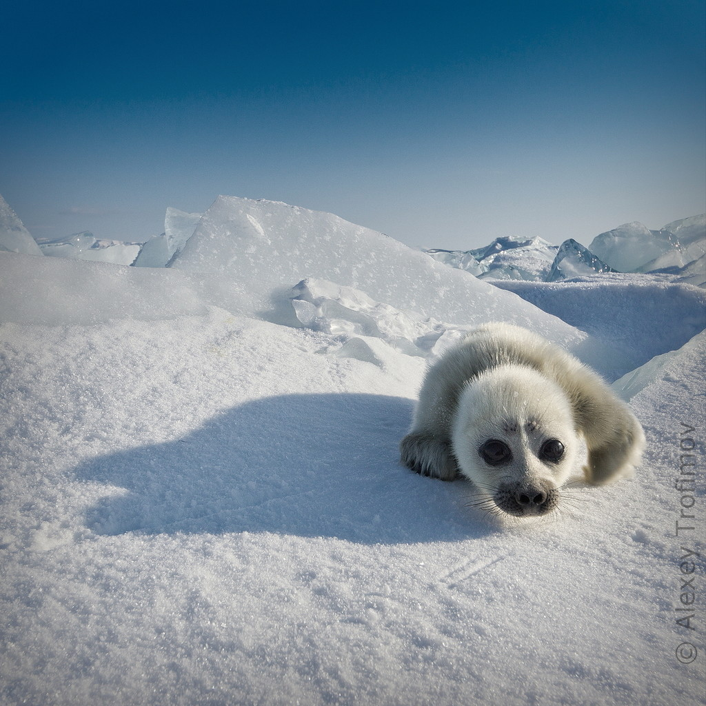 Cute Baby Seal Photographed on Baikal Lake – Weird Russia